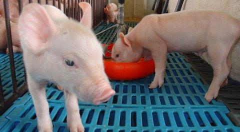 Perspectivas mundiais para a carne suína brasileira...