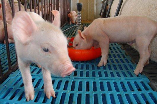 Perspectivas mundiais para a carne suína brasileira são apresentadas em Chapecó